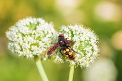 Scolia lat. Megascolia maculata lat. Scolia maculata is a species of large wasps from the family of scaly .Megascolia maculata. The mammoth wasp. Scolia giant wasp on a onion flower.