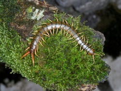 Scolopendra cingulata, also known as Megarian banded centipede and the Mediterranean banded centipede, Bulgaria, April 2019
