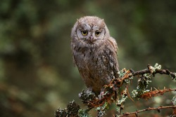 Scops Owl, Otus scops, sitting on tree branch in the dark forest. Wildlife animal scene from nature. Little bird, owl close-up detail portrait in the nature, Bulgaria.