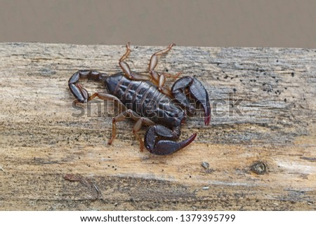 scorpion a member of the arachnid class of animals so related to a spider on a wooden beam in springtime in Italy #1379395799