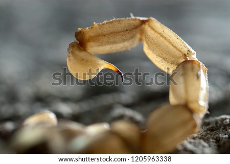 Scorpion, Buthus occitanus, yellow scorpion, sting #1205963338