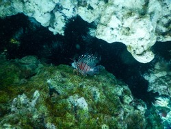 scorpion fish lurking in a ravine in the rocks