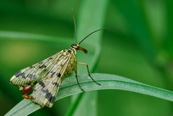 Scorpion Fly male sitting motionless on a leaf of grass. Side view, close up. Blurred natural green background. Genus species Panorpa communis.