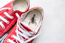 Scorpion inside a sneaker. Venomous animal indoors. danger of stinging. Tityus bahiensis, also known as black scorpion, is a species of scorpion from eastern and central Brazil.