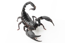 Scorpion on white background, poisonous sting at the end of its jointed tail, which it can hold curved over the back. Most kinds live in tropical and subtropical areas.