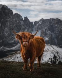 Scotland cow mountains peak italy dolomites snow grass nature wildlife rural alps photography