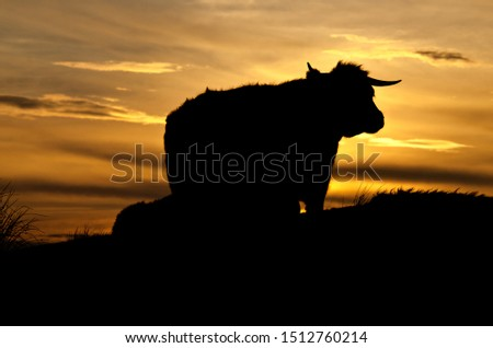 Scotland highland cattle silhouette at sunset #1512760214