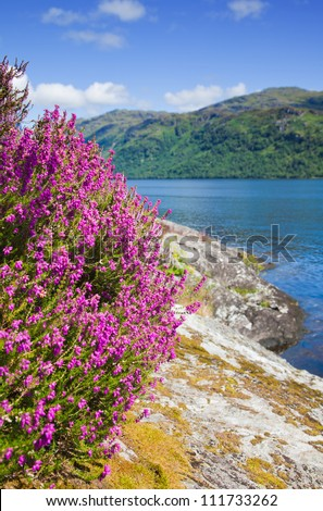 Scotland, Loch Lomond in summer, heather flowering