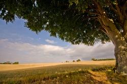 Scotland North Coast landscapes wheat fields and shady trees