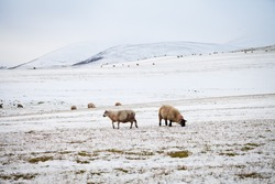 Scotland snow landscape with sheep.