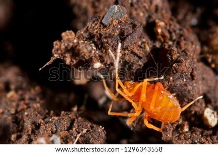 Scotolemon sp., Phalangodidae (harvestman)