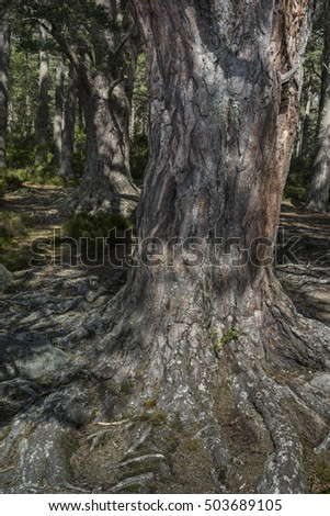 Scots Pine at Abernethy forest in Scotland