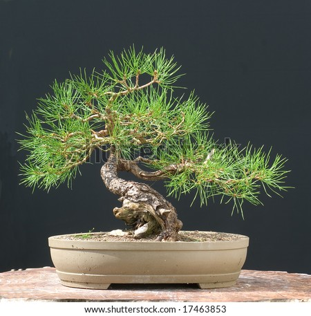 scots pine bonsai - stock photo