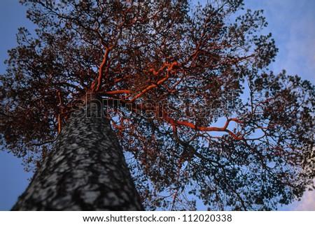 Scots Pine, fir tree at midnight in the midnight sun, Sweden