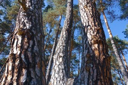 Scots pine (Pinus sylvestris L.); Poland, Zloty Potok; zooming on the bark of a tree