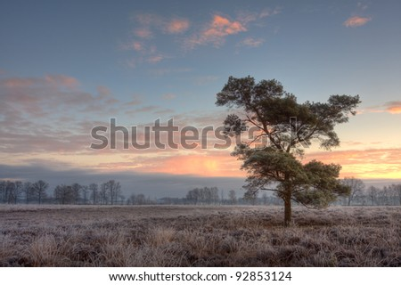 Scots Pine (Pinus sylvestris) on a frozen heath, early on morning in winter.