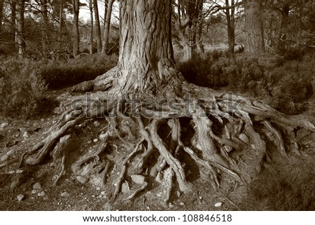 Scots pine roots