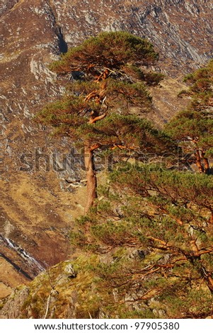 Scots Pine Tree on a hillside in the Scottish Highlands, remnants of an ancient Caledonian Forest. - stock photo