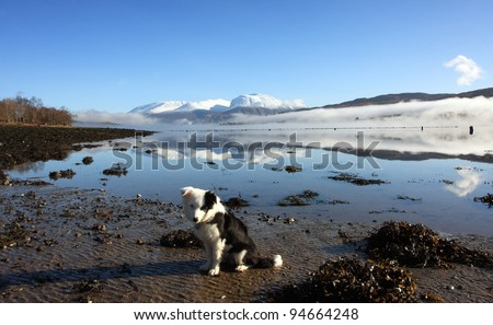 Scottish Border Collie pup with Ben Nevis and Loch Eil in the background.