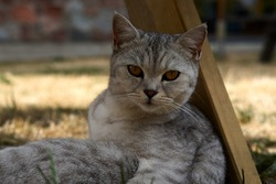 Scottish cat looking at camera. Portrait of gray tabby cat. Cute domestic animal. High quality photo