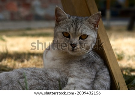 Scottish cat looking at camera. Portrait of gray tabby cat. Cute domestic animal. High quality photo Foto stock ©