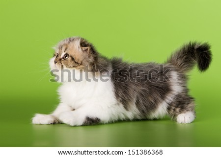 Scottish cat on a green background