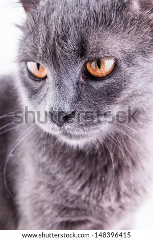 scottish cat on the white background