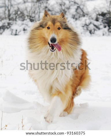 Scottish collie dog running on snow