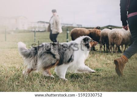 Scottish Collie is herding sheeps Stockfoto ©