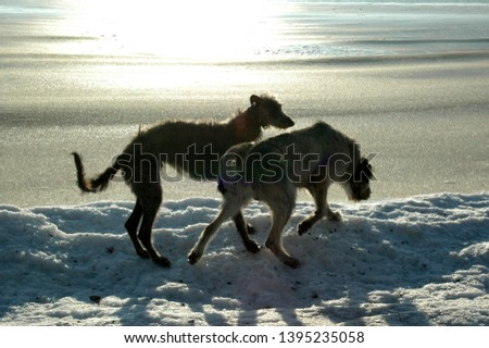 Scottish Deerhound and Irish Wolfhound seen as silhouettes on a beach in winter  #1395235058