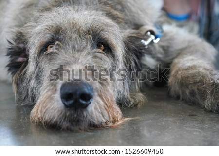 Scottish deerhound dog laying on stone floor indoors, looking bored / tired #1526609450