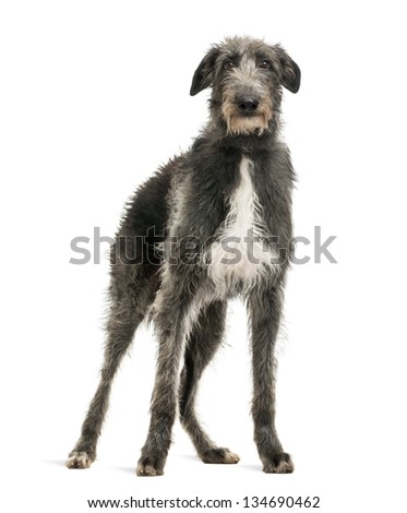 Scottish Deerhound looking at the camera, isolated on white #134690462