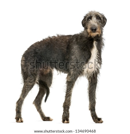 Scottish Deerhound looking at the camera, isolated on white #134690468