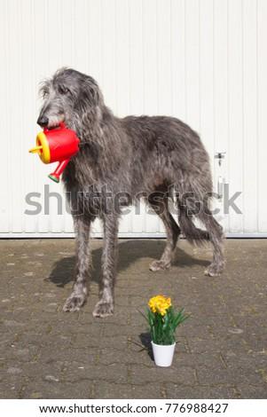 Scottish Deerhound, most perfect creature of heaven #776988427