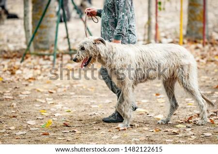 Scottish Deerhound on the training ground #1482122615