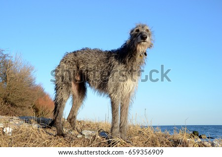 Scottish Deerhound standing at a beach on a sunny day.  #659356909