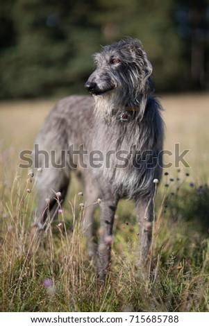 scottish deerhound standing on a field #715685788