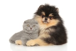 Scottish fold and Pomeranian puppy posing on a white background. Baby animal theme