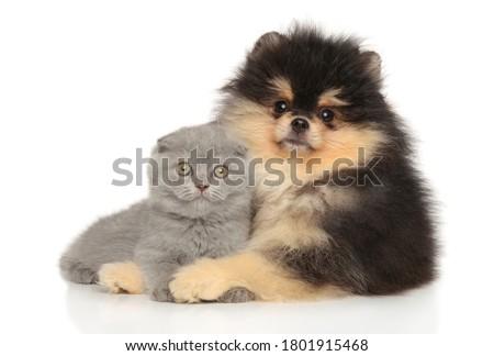Scottish fold and Pomeranian puppy posing on a white background. Baby animal theme ストックフォト ©