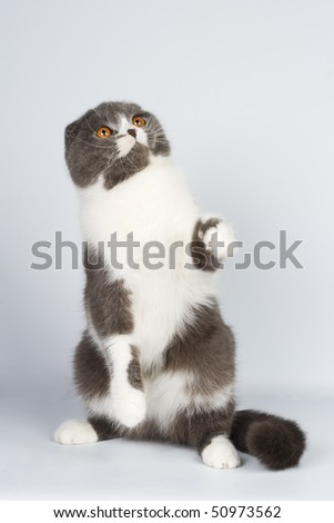 Scottish fold cat animals feline domestic