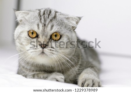 Scottish fold cat are squat on white bed in the room. Gray cat with beautiful patterns. Cat are staring. #1229378989
