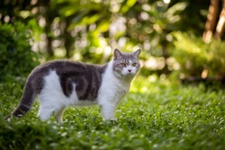 Scottish fold cat are standing in the garden with green grass. White kitten are looking something with blurred of green background in the morning.