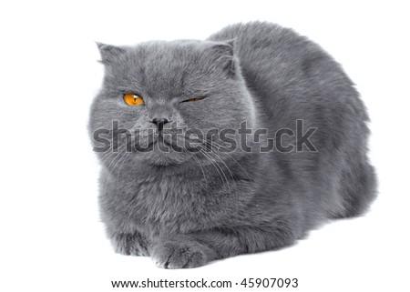 scottish fold cat grey furry plushy