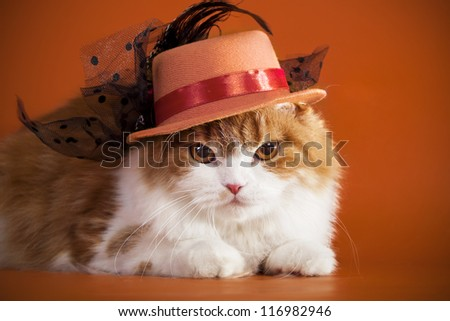 Scottish Fold cat in the hat on orange background.