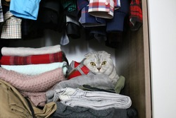 Scottish Fold cat is hiding in a wardrobe. Selective focus