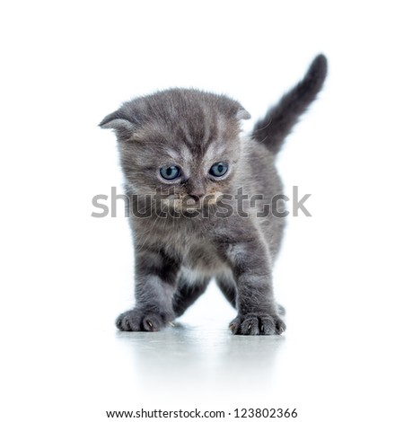 Scottish fold cat kitten isolated on white