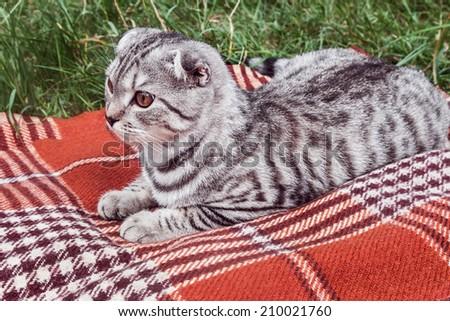 Scottish Fold cat lying on a blanket