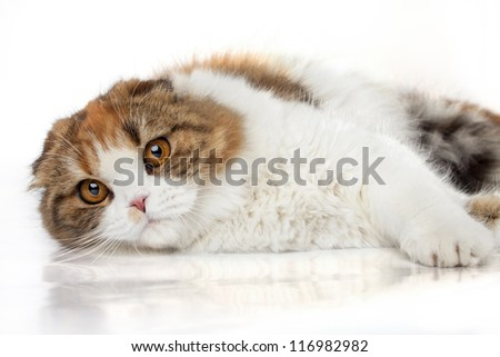 Scottish fold cat lying on a white background.