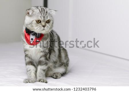 Scottish fold cat wearing a red tuxedo sitting on white bed. Cat wearing a white suit. Gray cat on the white background. #1232403796