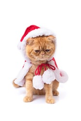 Scottish fold cat wearing red santa greatcoat looking down to floor on white background.